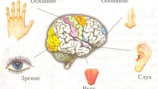 Сколько органов чувств человека - Pristor