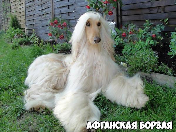 afganskaya-borzaya
