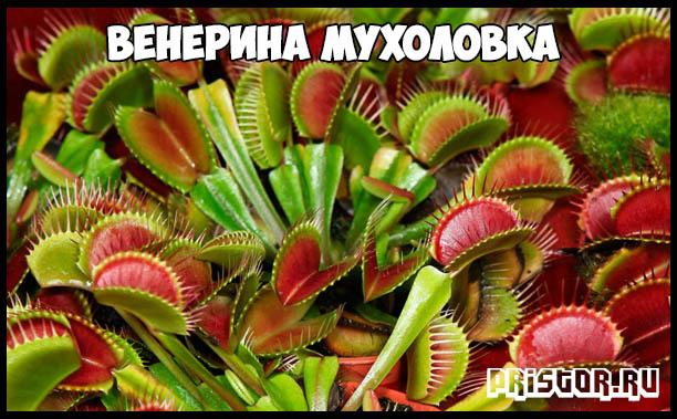 venerina-muxolovka