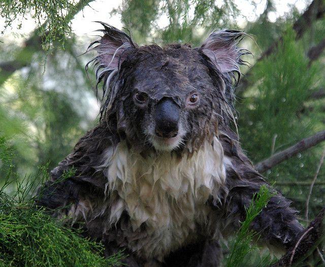mokraya-koala-foto-2