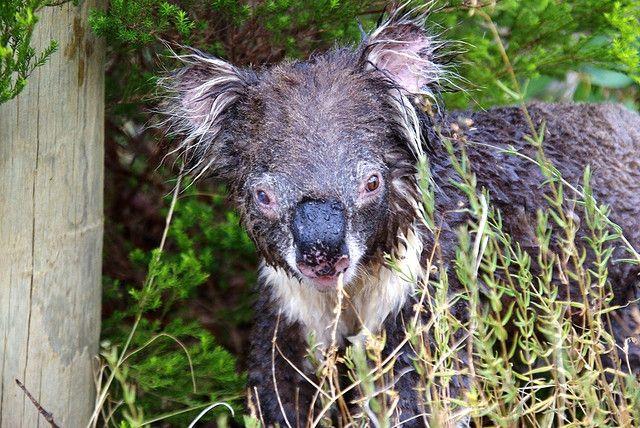 mokraya-koala-foto-3