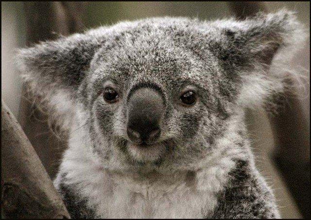mokraya-koala-foto-4