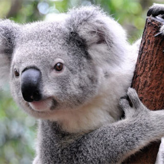 mokraya-koala-foto-5