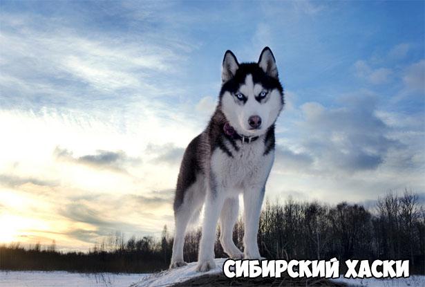 sibirskij-xaski