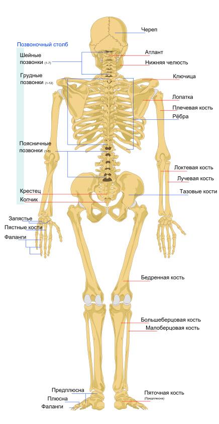 skelet-cheloveka-vid-szadi