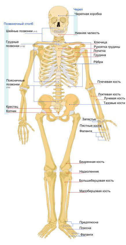 skelet-cheloveka-vid-speredi