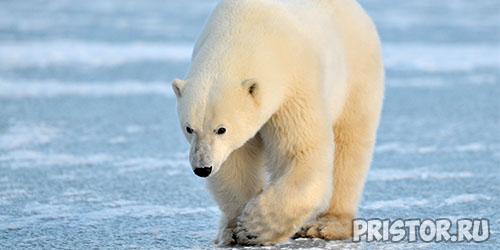 Belyiy medved