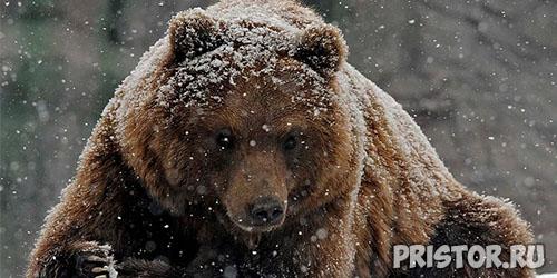 Buryiy medved
