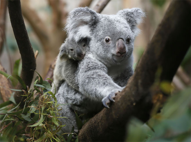 Детеныш коалы с мамой