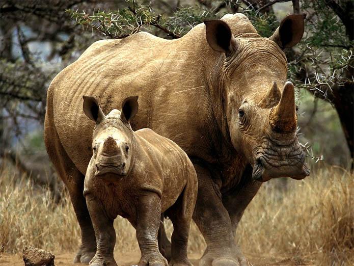 Детеныш носорога и его мать