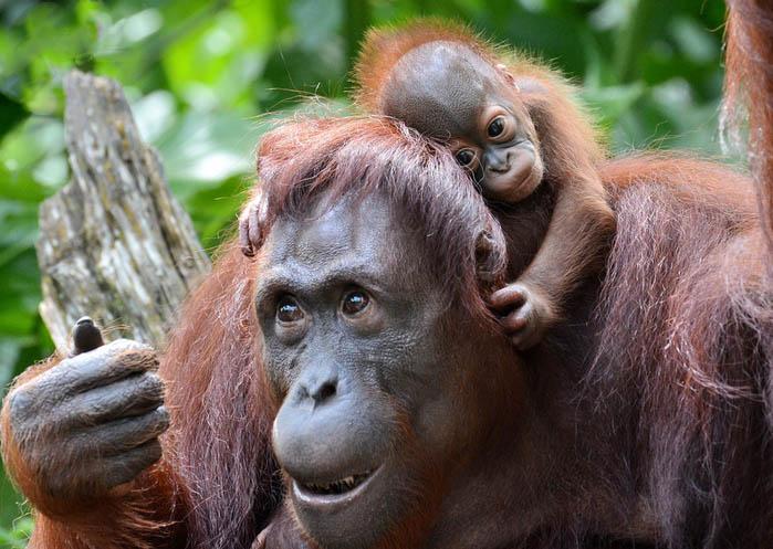 Мать-орангутанг и ее детеныш
