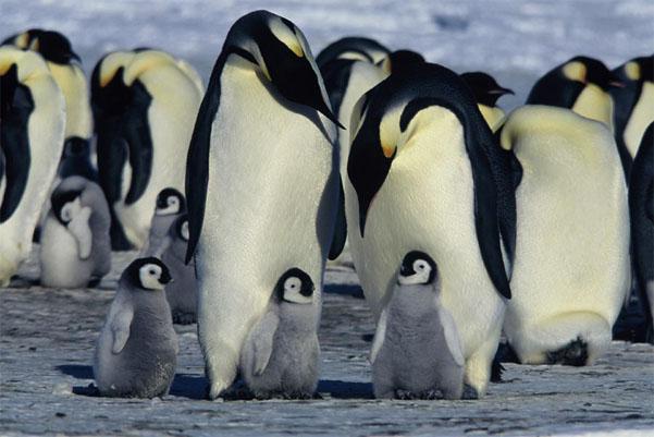 Пингвиненок с мамой и папой