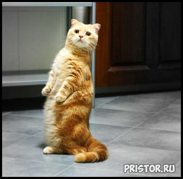 Порода кошек Манчкин фото 3