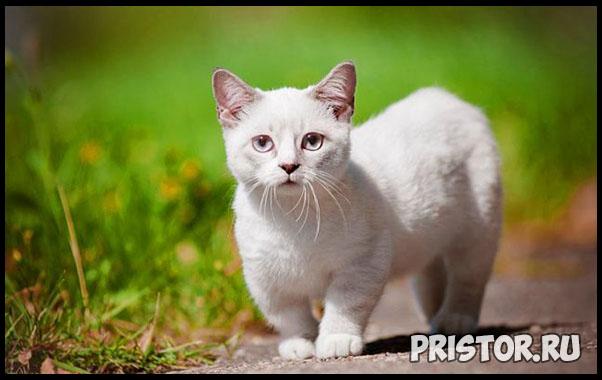 Порода кошек Манчкин фото 5