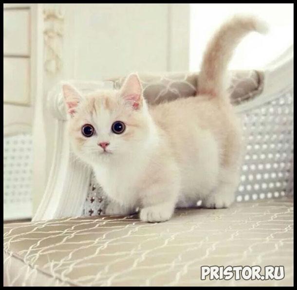 Порода кошек Манчкин фото 6