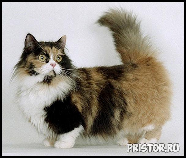 Порода кошек Манчкин фото 7