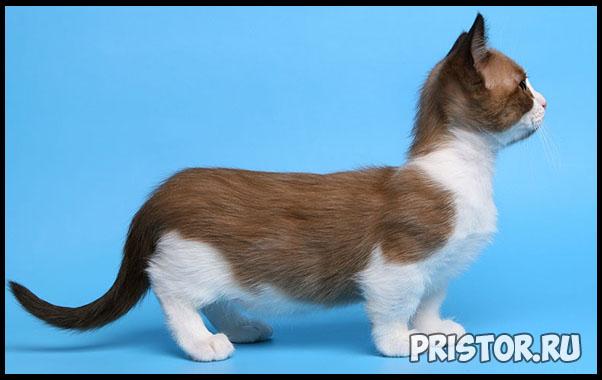 Порода кошек Манчкин фото 8