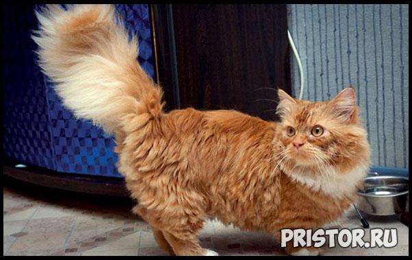 Порода кошек Манчкин фото 9