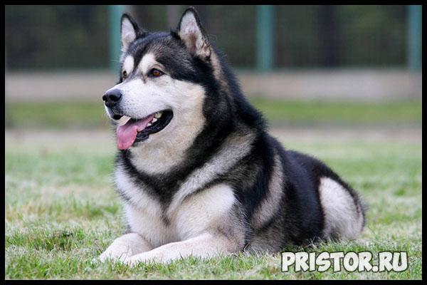 Порода собак маламут фото 10