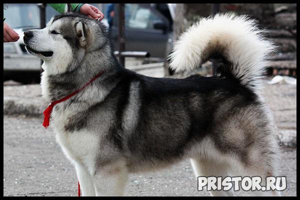 Порода собак маламут фото 11