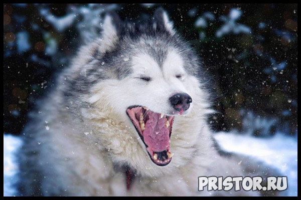 Порода собак маламут фото 4