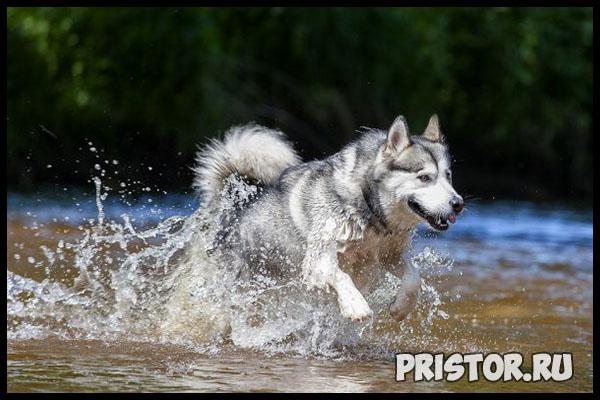 Порода собак маламут фото 8