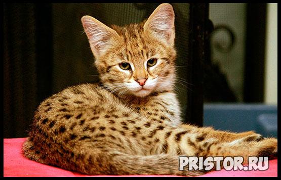 Саванна кошка фото 15