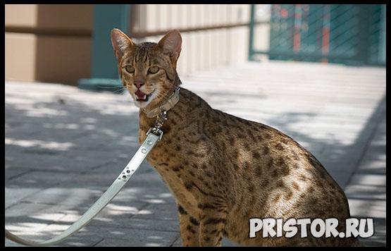 Саванна кошка фото 16