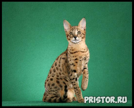 Саванна кошка фото 2