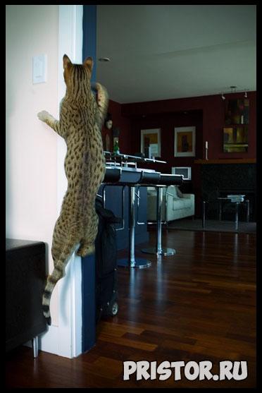 Саванна кошка фото 5