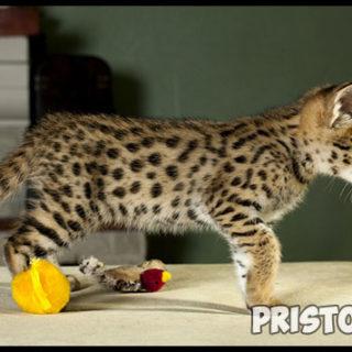 Саванна кошка фото 8