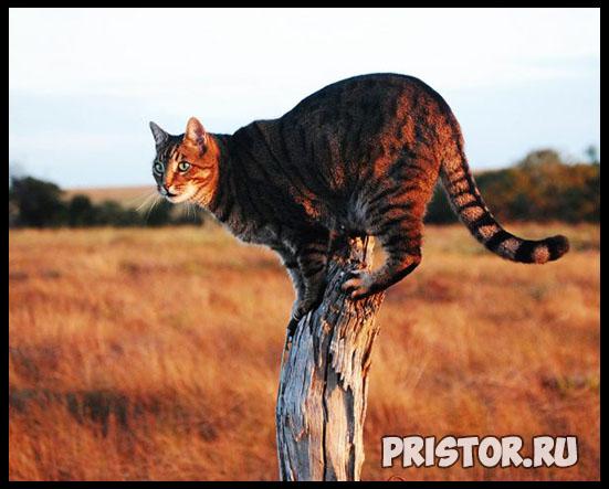 Саванна кошка фото 9
