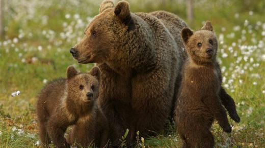 Самка бурого медведя с медвежатами