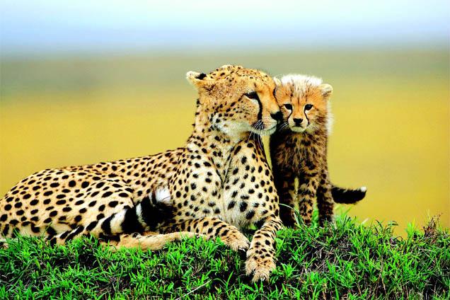 Самка гепарда с котенком