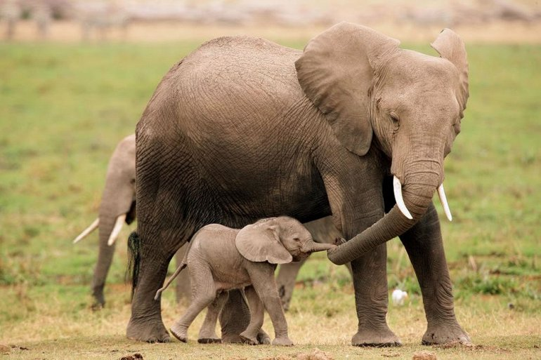 Слониха с детенышем