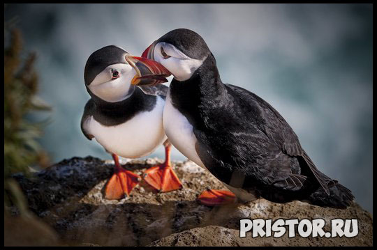 Тупик птица - фото, описание 10