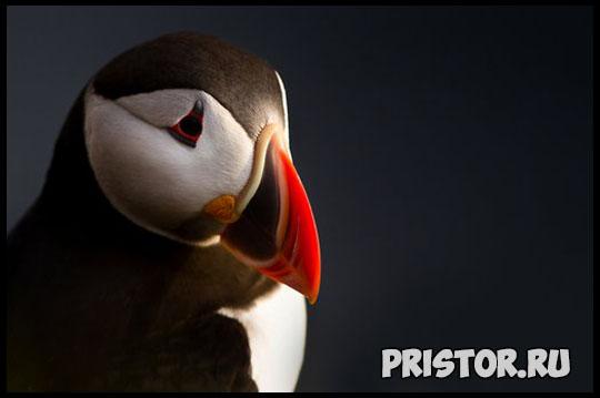 Тупик птица - фото, описание 11