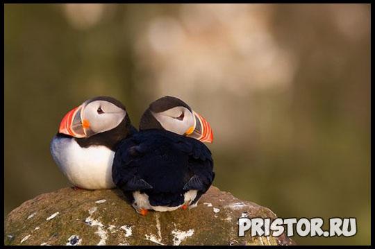 Тупик птица - фото, описание 12