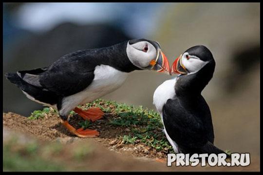 Тупик птица - фото, описание 5