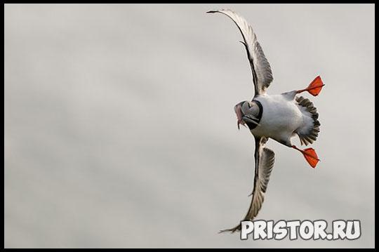 Тупик птица - фото, описание 8