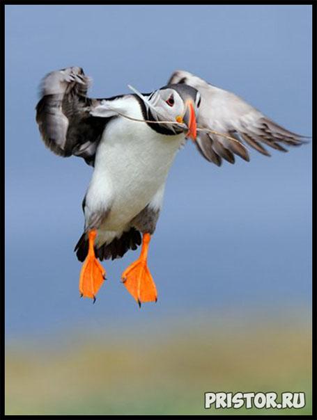 Тупик птица - фото, описание 9