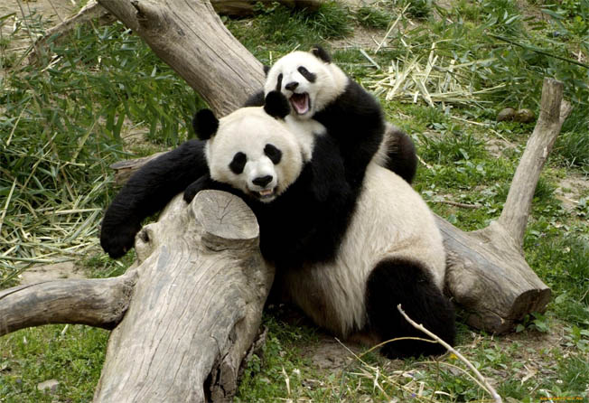 мама панды с ребенком