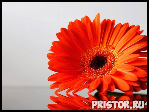 Гербера цветок фото, фото букетов герберы - подборка 10
