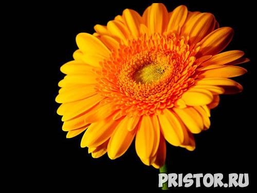 Гербера цветок фото, фото букетов герберы - подборка 4