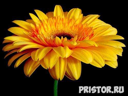 Гербера цветок фото, фото букетов герберы - подборка 8