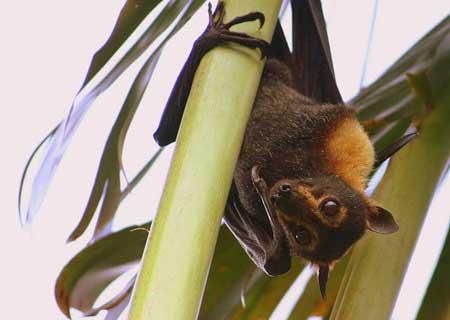 Летучая мышь картинки, прикольные и красивые картинки летучей мыши 2