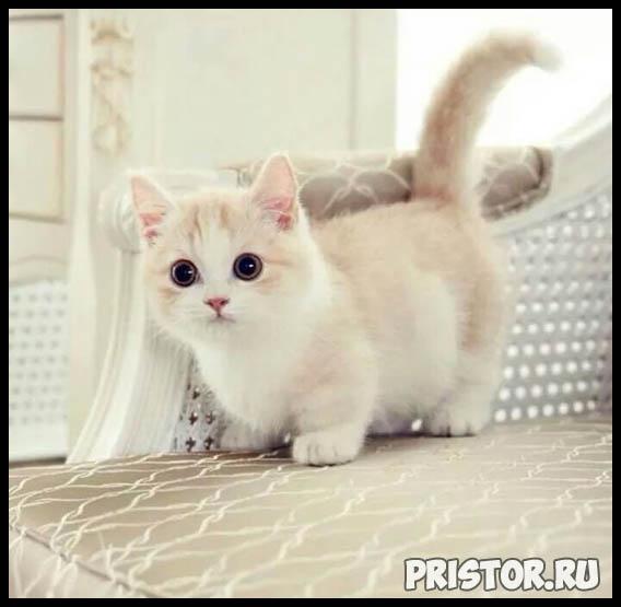 Манчкин кошка - фото, описание породы, характер 10