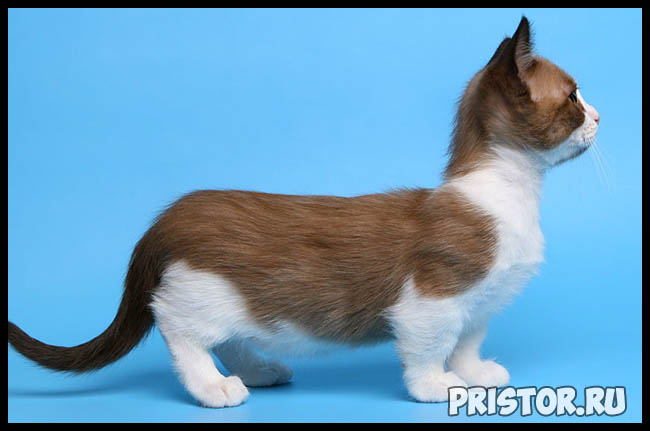 Манчкин кошка - фото, описание породы, характер 2