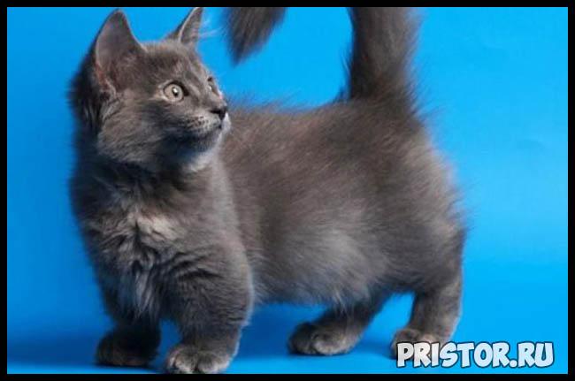 Манчкин кошка - фото, описание породы, характер 4