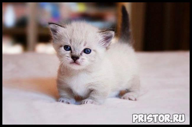 Манчкин кошка - фото, описание породы, характер 6